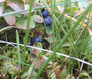 Blueberries on Vaeroy