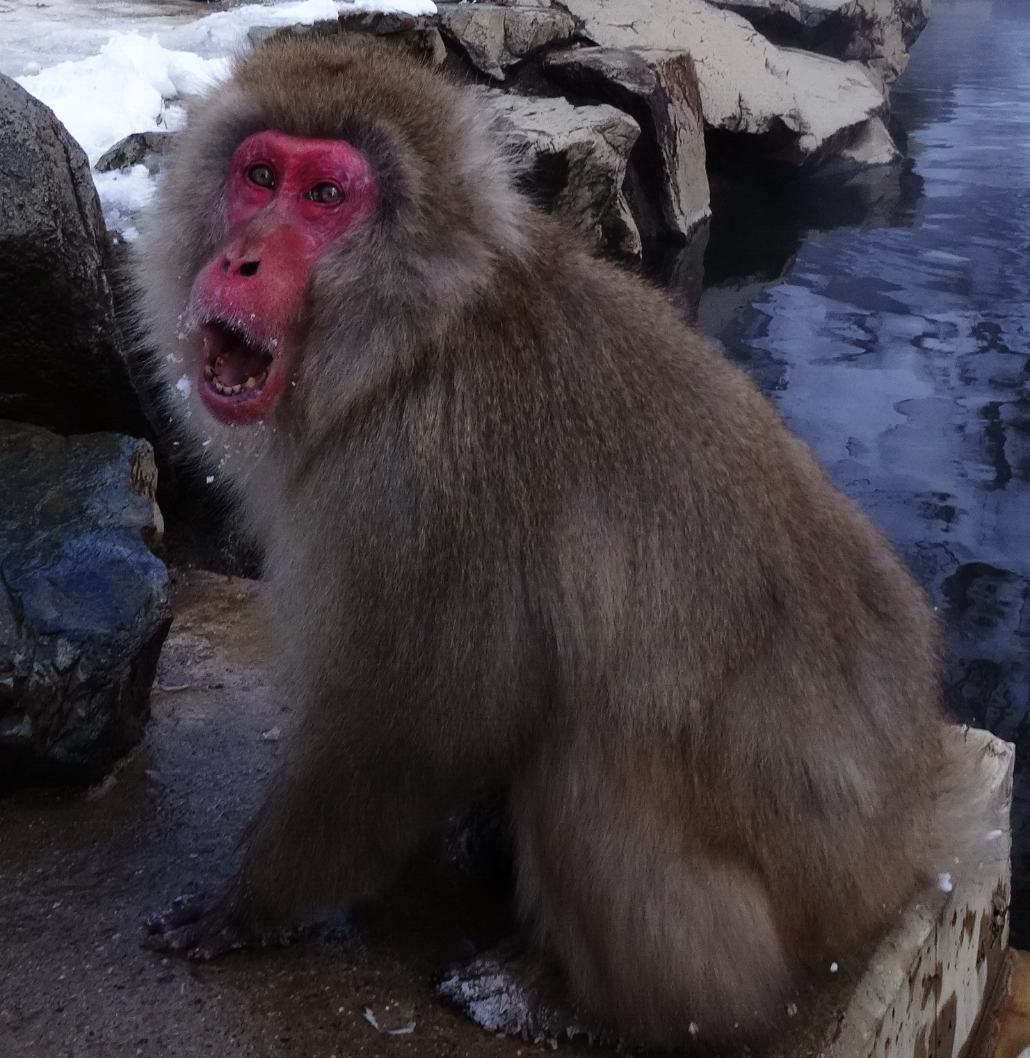 Snow Monkeys – and absent friends (Yudanaka, Japan)
