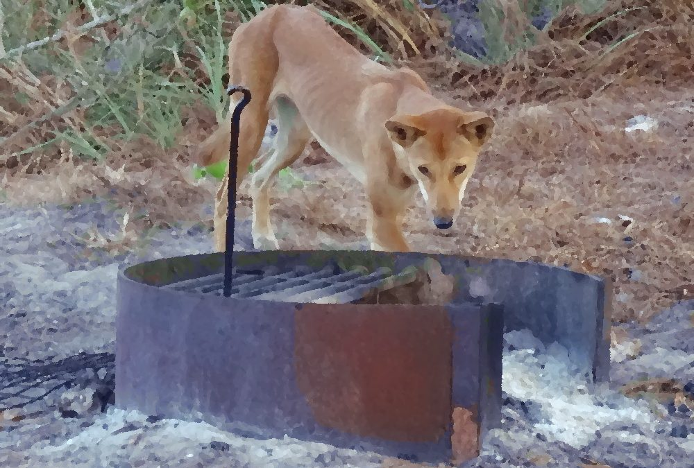 A Dingo in the Dunes – hard times in Dogtown (Cape Arnhem, Australia)